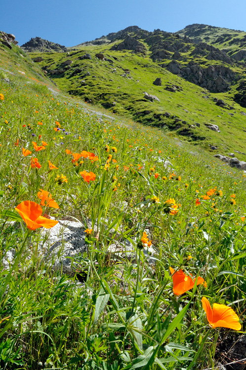california wildflowers and poppies in the kern river canyon