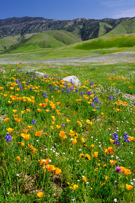 California Poppies and Lupine spring wildflowers