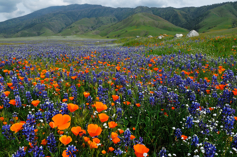 A river of wildflowers flows through california spring time scenery river of wildflowers flowers poppies lupine and popcorn mightylinksfo Image collections
