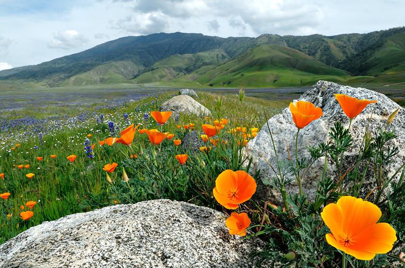 http://www.grahamowengallery.com/photography/Flowers/3-21-09-poppies-rocks.jpg
