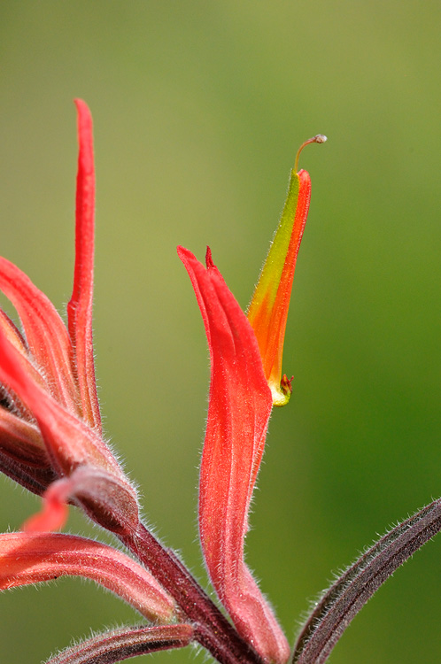 Indian Paintbrush Close Up