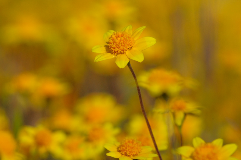 Macro Photography Of Native California Spring Wildflower