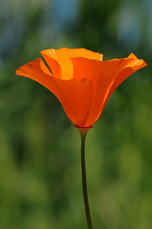 Artistic California Poppy Photography