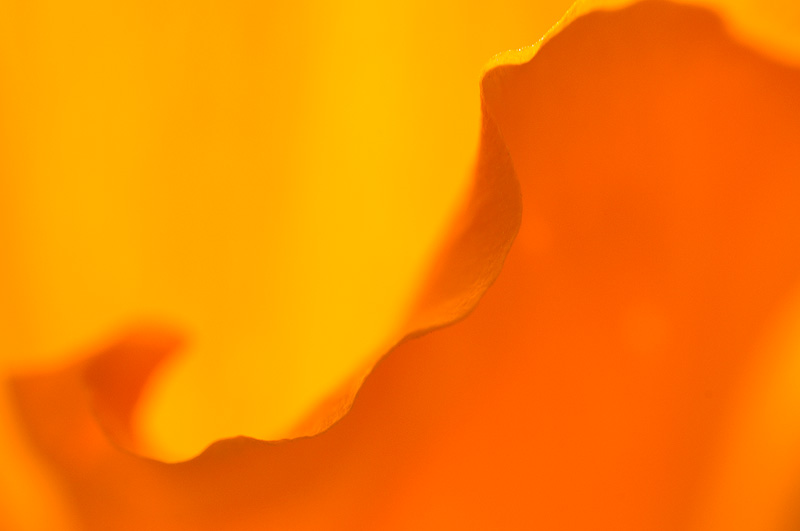 California Poppy petals close up