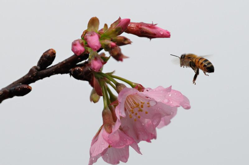 Honeybee in flight approaching fresh spring cherry blossoms