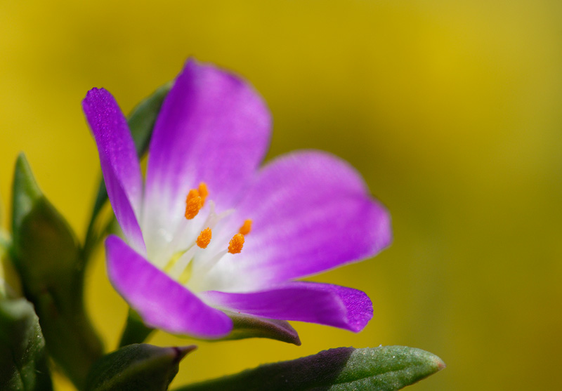 April 2008 cottonwood canyon california wildflower photography a beautiful purple wildflower mightylinksfo