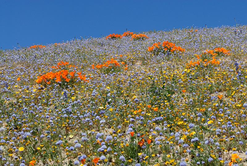 2008 California Wildflower Photography Gorman Hills