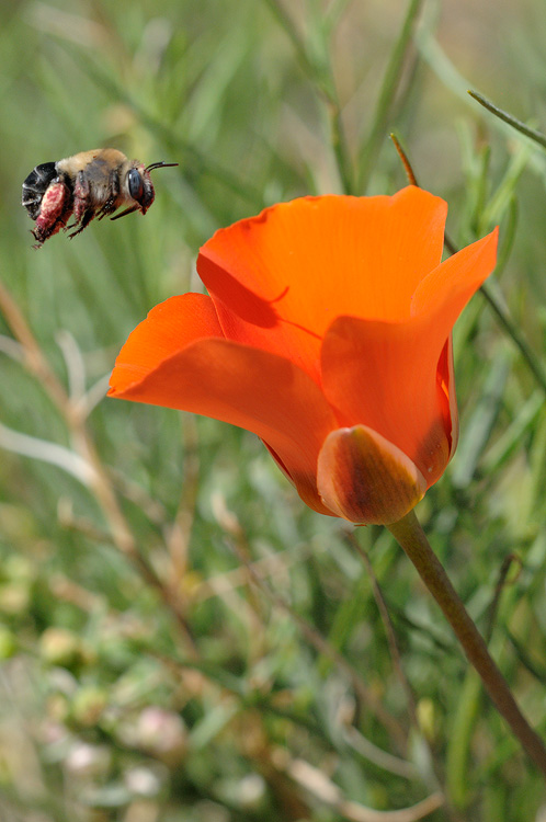 desert bee and a Kennedys Mariposa lily
