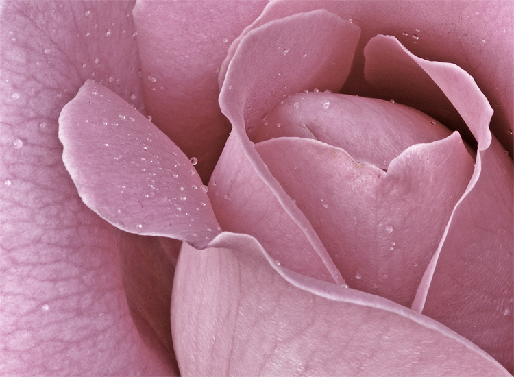 Rose Macro / close up / Rose Flower / water drop / IMG_775