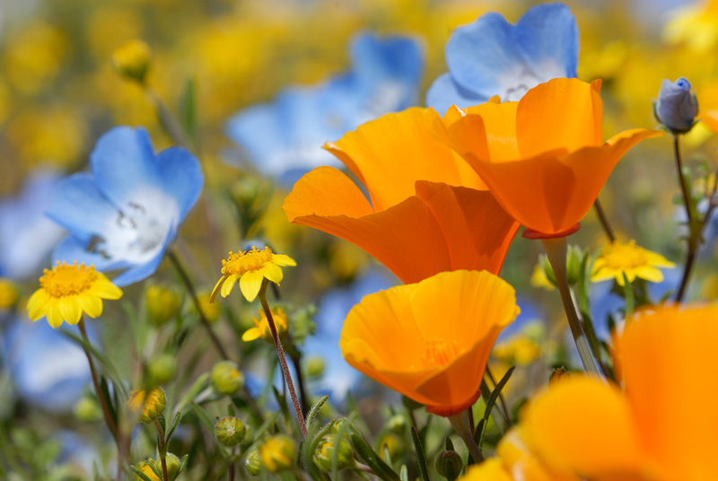 Poppies baby blue eyes goldfields wild flowers macro2g california spring wildflowers poppies baby blues and goldfields mightylinksfo Image collections