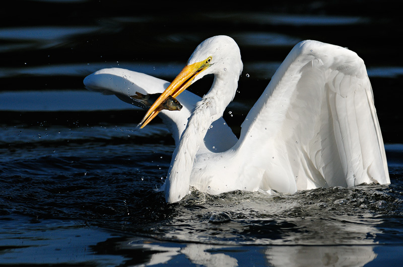 Great Egret in flight, gliding over water