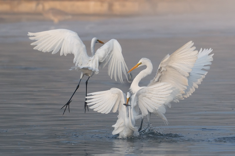 Great Egret Fishing >> Great White Egret Photography In Flight Fishing And Playing