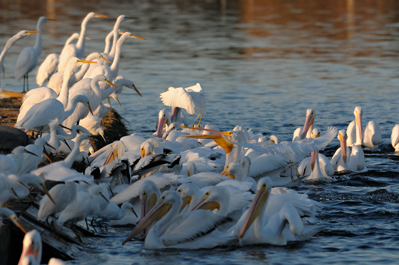 Bird War - Egrets vs Pelicans