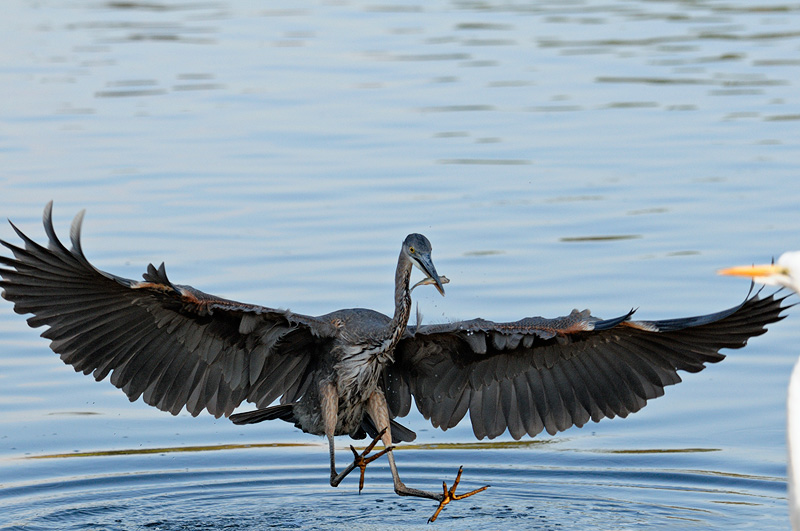 California Bird Photography Including Great Blue Herons