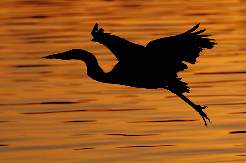 Great Blue Heron sunset flight