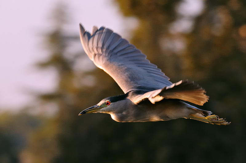 Night heron in flight - photo#17