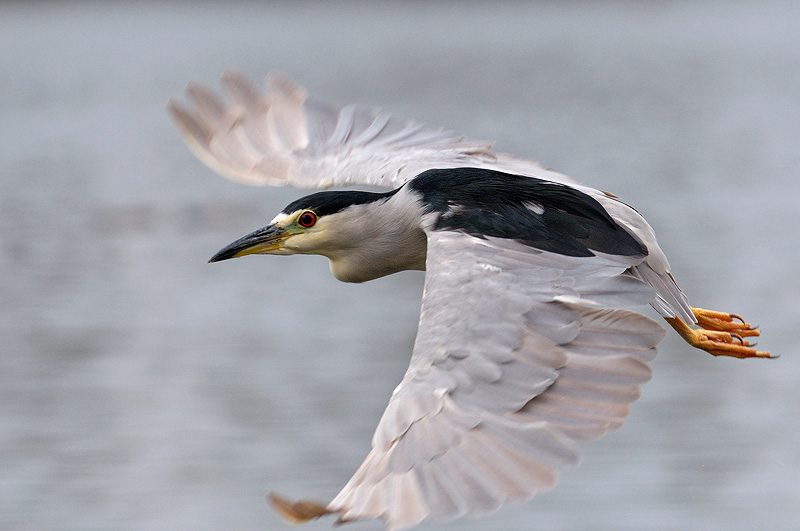 Night heron in flight - photo#18