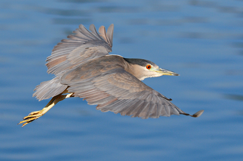Night heron in flight - photo#36