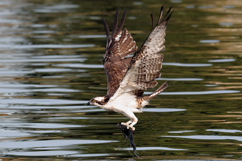Osprey flying home with a fish