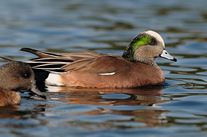 Wigeon duck hen - photo#20