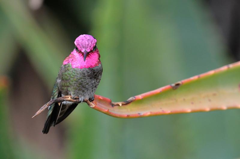 Pink hummingbirds