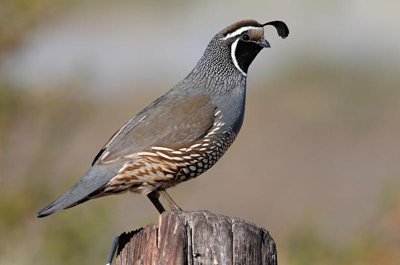 Pics Photos - State Bird Of California