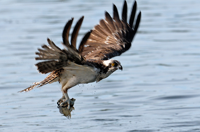 Osprey photography for Osprey catching fish