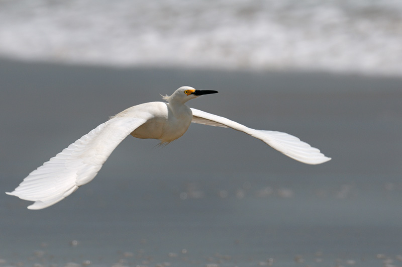 Snowy Egret in flight over Malibu Beach