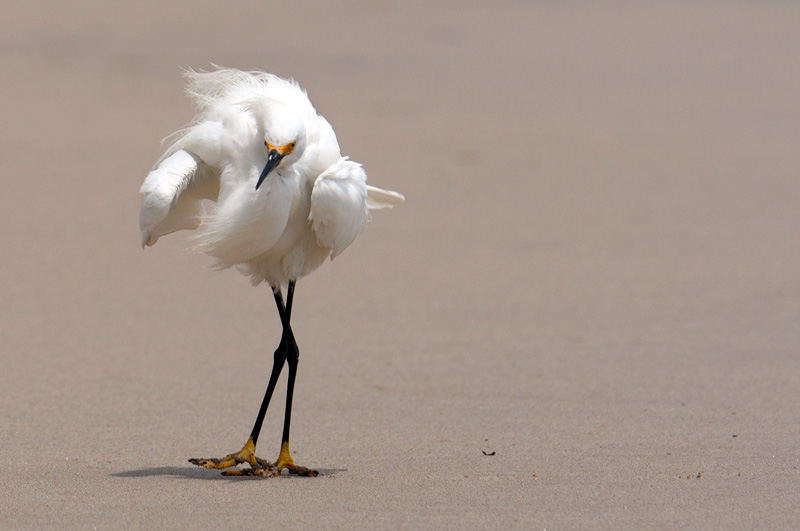 Snowy egret fluffing its feathers on the beach