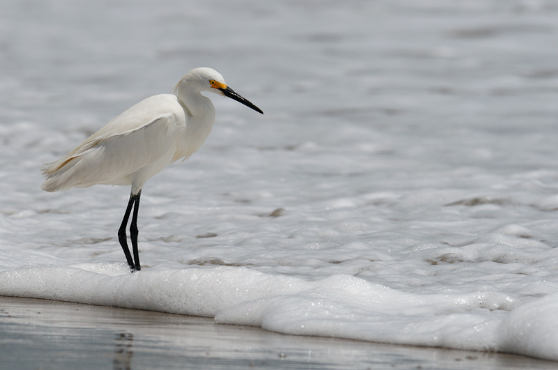Snowy Egret fishing on Malibu Beach