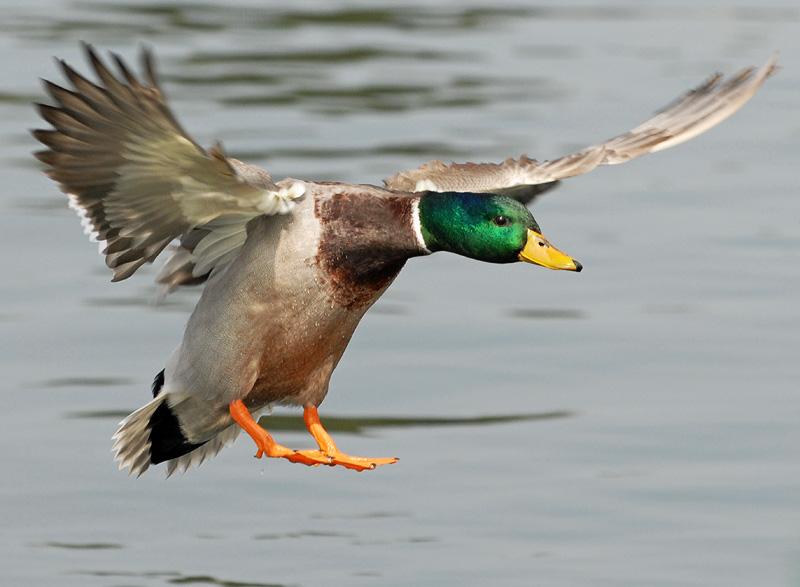 Mallard duck about to ...
