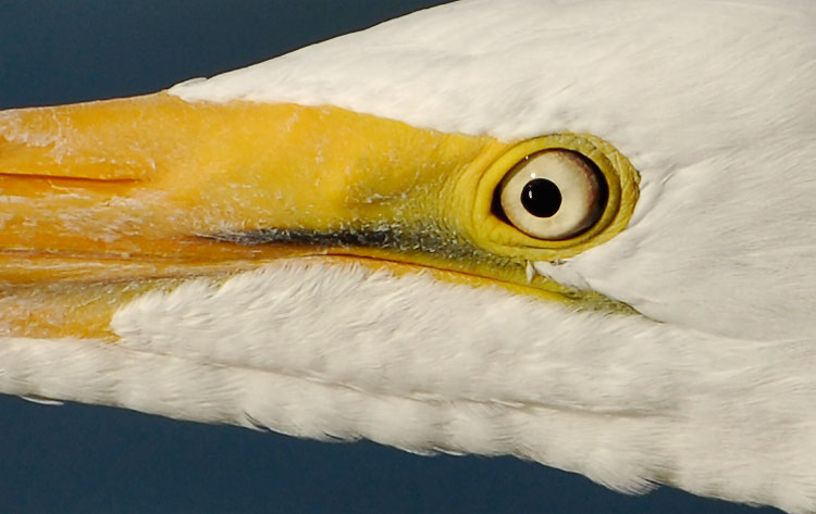 Close up look at a Great Egrets eye and face