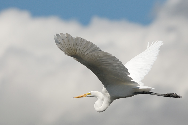 Great Egret in flight with nice clouds in the background