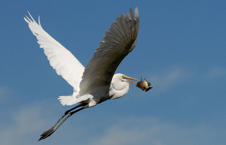 Happy Egret in flight with a fish lunch