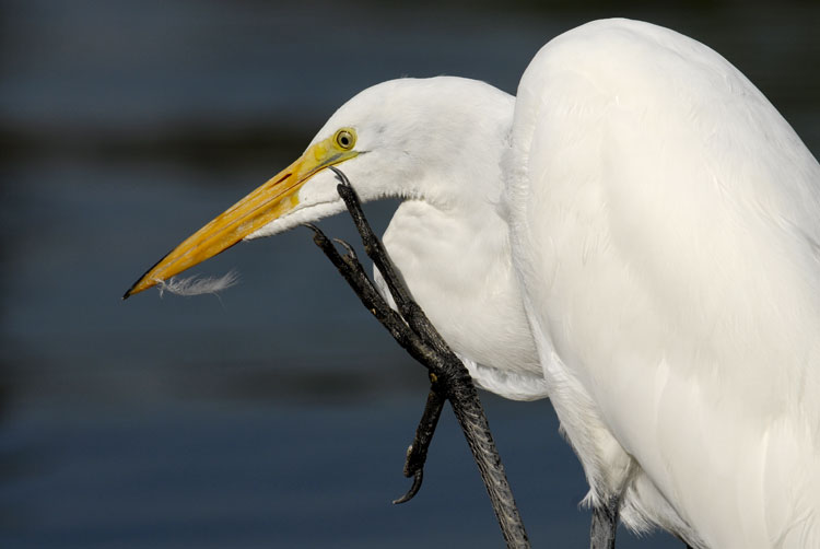 Great Egret bothered by a feather on its bill
