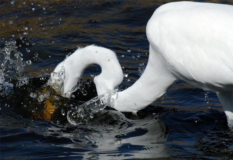 Great Egret Fishing >> Great Egret Fishing Egret Hunting 2 Jpg