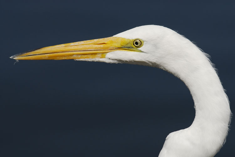 Great Egret ready to go fishing