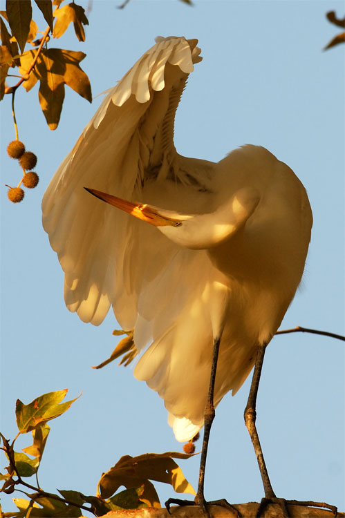 Great Egret sunset preening