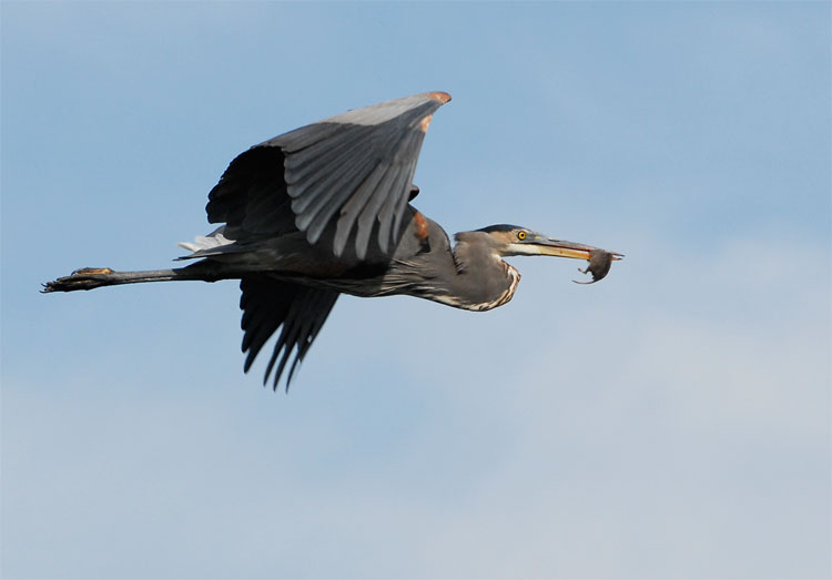Great Blue Heron Flying With A Rat In Its Bill