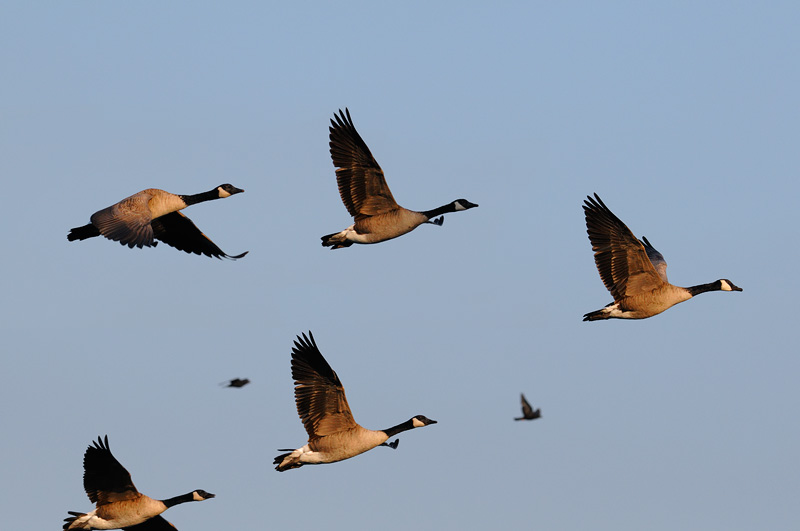 Canada Geese and a pair of small birds enjoying a sunrise flight
