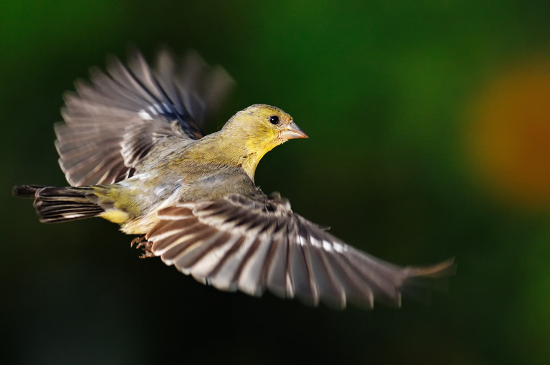 Goldfinch House Finch And Other Small Song Bird Photography