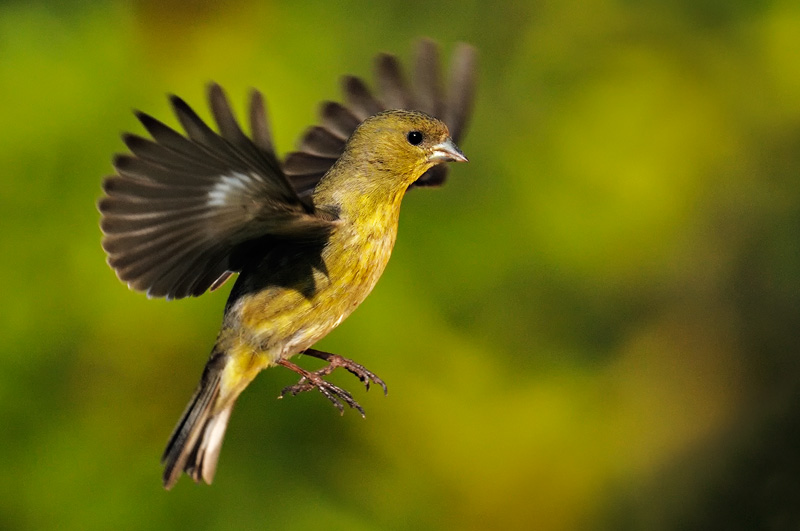 Goldfinch House finch ...