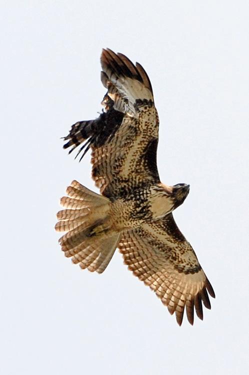 hawks collision