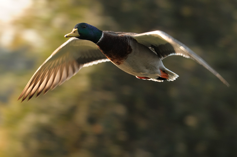 mallard duck in flight at sunset