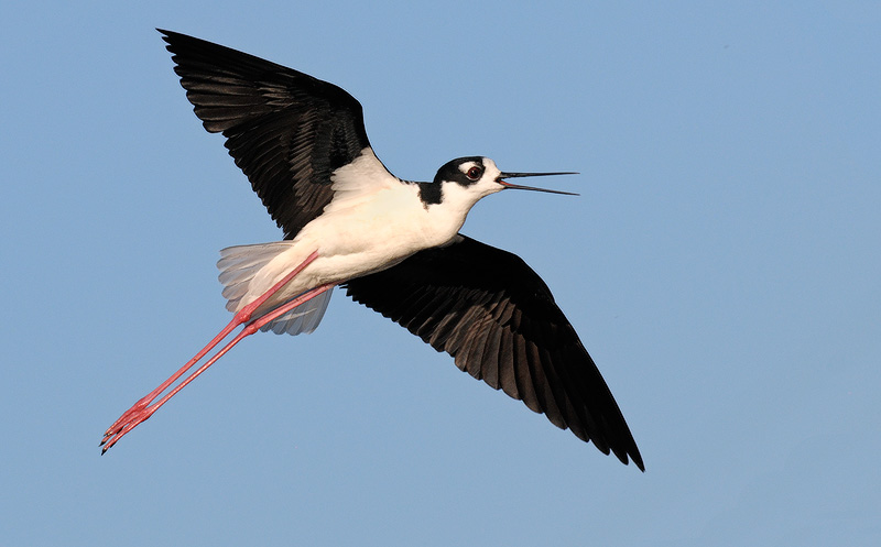 beautiful Stilt in flight at sunset