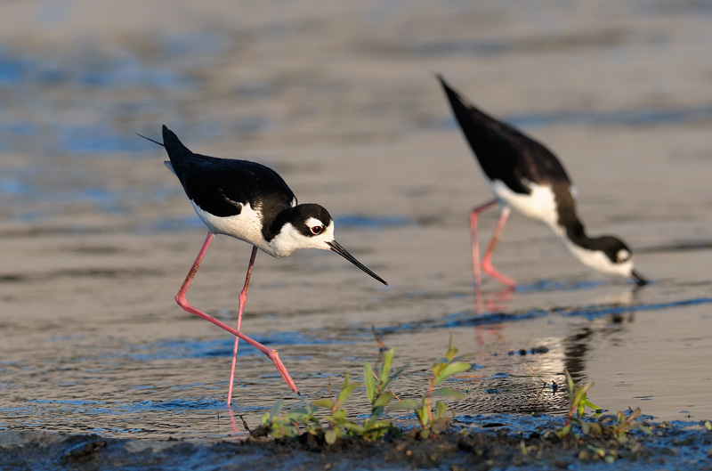 pair of stilts feeding