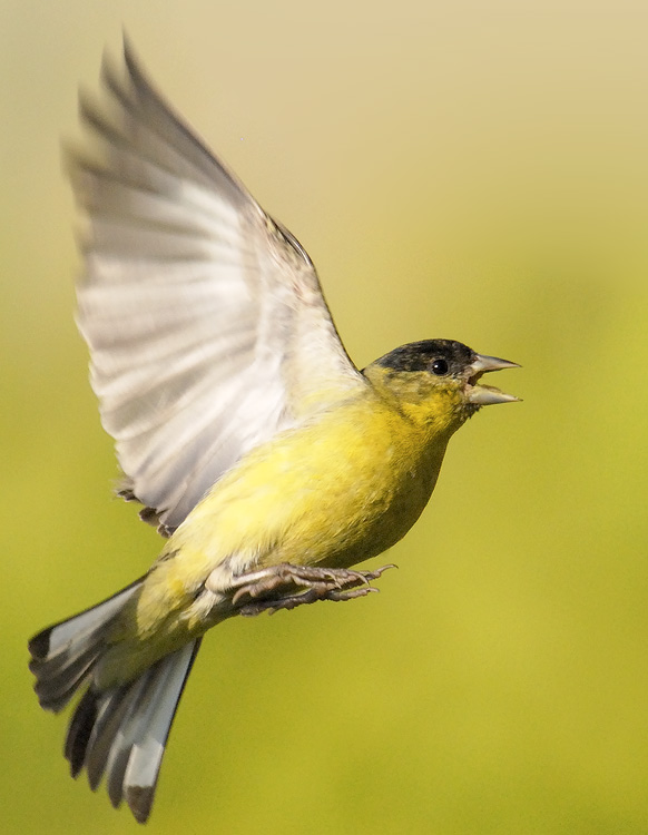 Male lesser Goldfinch ...