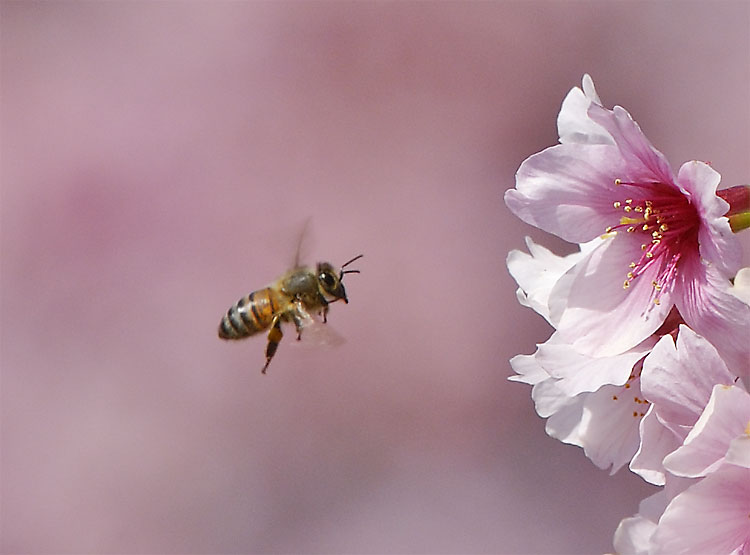 Honey Bee And Spring Cherry Blossoms
