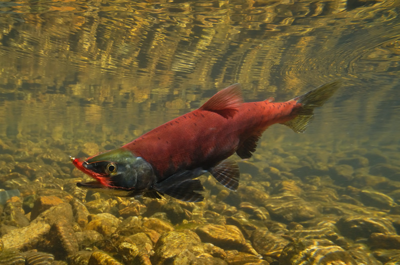 Fly hooked Kokanee salmon on the line