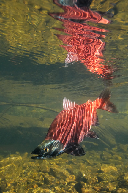 Red Kokanee salmon underwater reflection